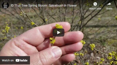 ID That Tree Spicebush in Flower Thumbnail