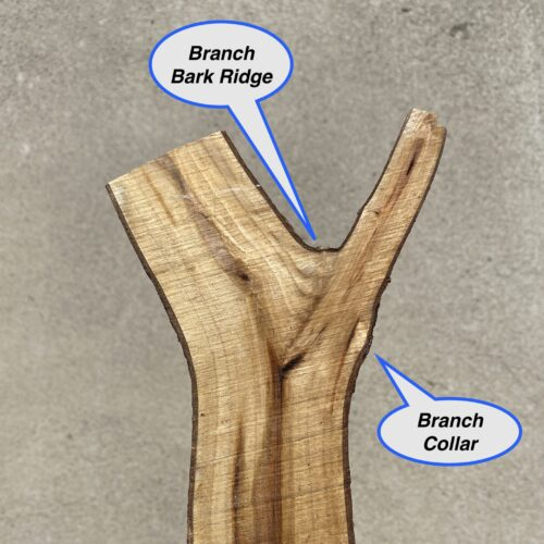 Branch Bark Ridge and Branch Collar of a cut branch image