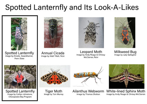 Fig 3 Spotted Lanternfly Photo