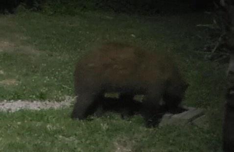 IDNR Black Bear Photo