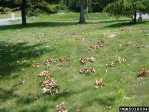 Cicada Damage Leaves on Ground Photo