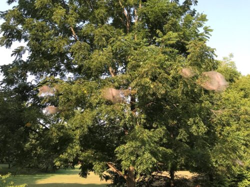 Figure 1 Fall Webworm Photo