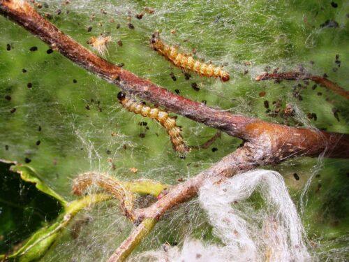 Figure 2 Fall Webworm Catipillar Photo