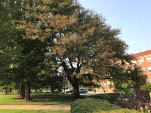 Figure 3 Brown Webbing Photo