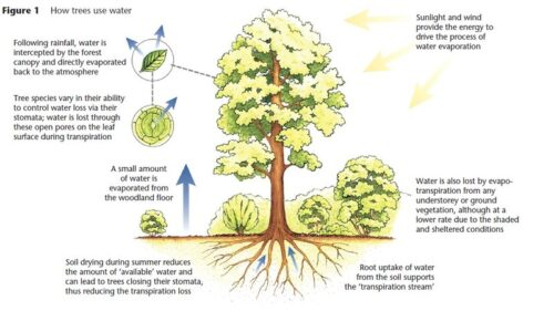 A graphic about how trees take in and use water.