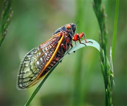 Cicada sitting on a blade of grass