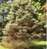 Fig. 2 Disease spreading up blue spruce tree.