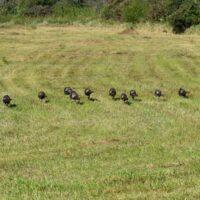 Turkey flock walking on grass. Turkey photo courtesy of Jerry Johnson. IN DNR.