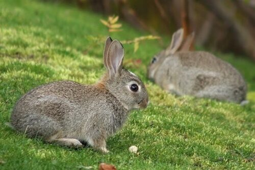 Two rabbits on grass.