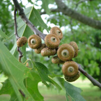 Picture of immature acorns from a red oak