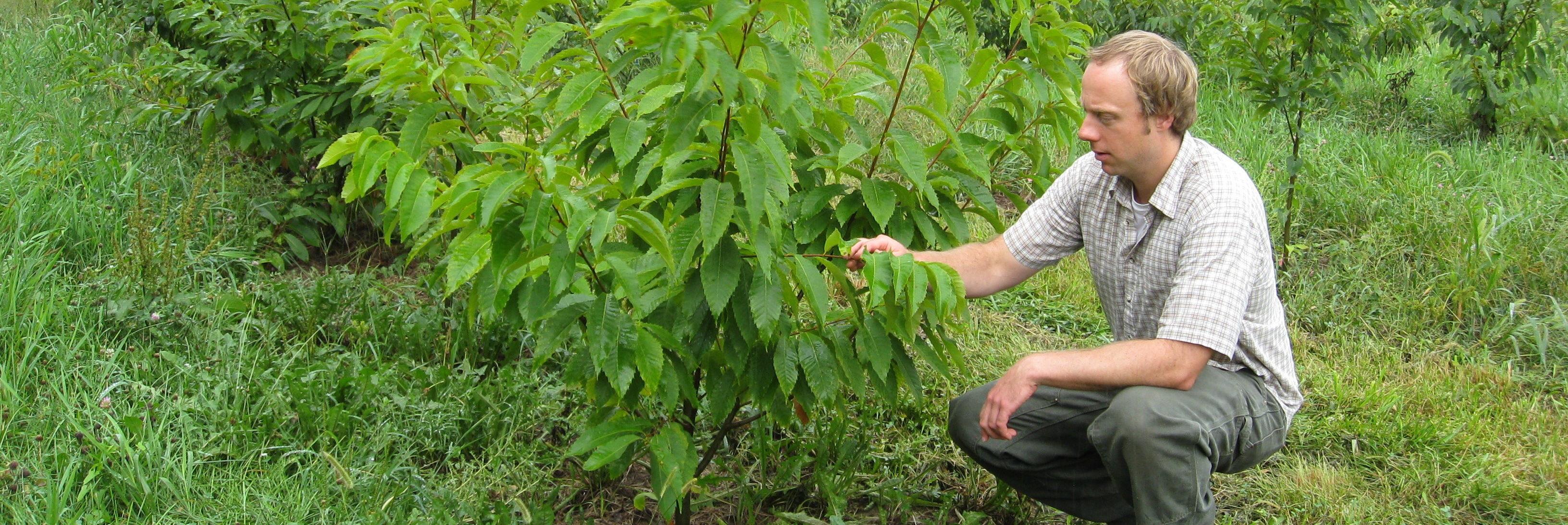 Chestnut planting