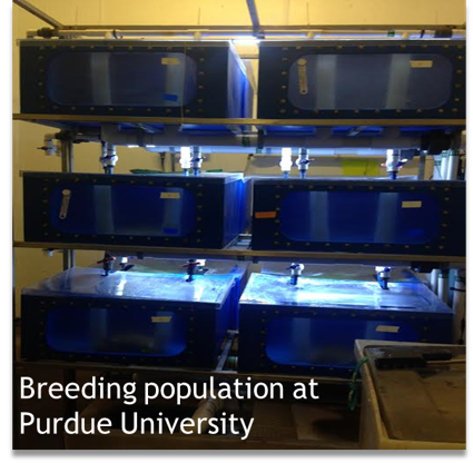 Breeding Population