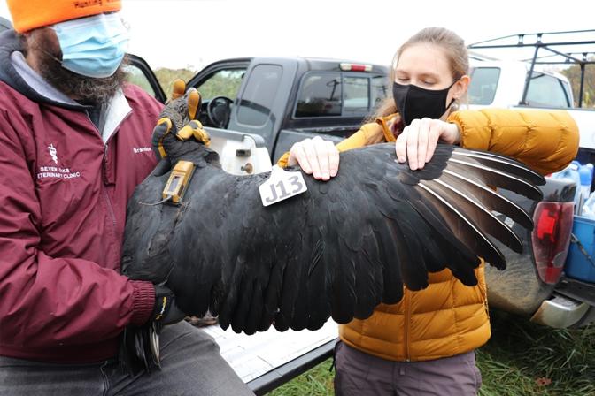Black Vulture Wing