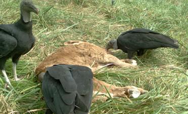 Black Vultures Scavenging