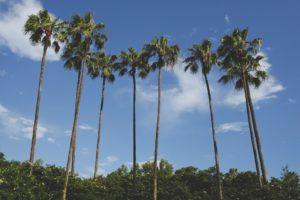 Palm trees in Orlando