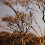 Acacia senegal tree