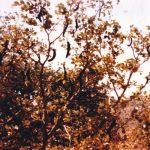 Ceratonia siliqua (source: Dr. Omar Mohammed Salih Abdelmuti)