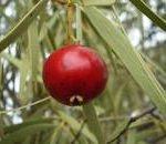 Santalum acuminatum fruit