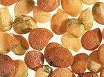 Solanum nigrum seeds