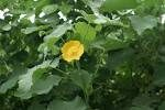 Abutilon indicum with yellow flower