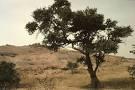 Acacia albida tree