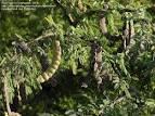 Acacia nilotica seed pods