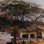 Acacia tortilis tree