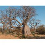 Adansonia digitata tree