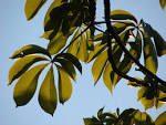 Adansonia digitata leaves