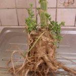 Adansonia digitata roots