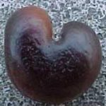 Adansonia digitata seed