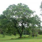 Adenanthera pavonina tree