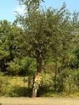 Aegle marmelos tree