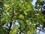 Aegle marmelos fruit