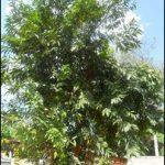 Alangium lamarckii tree