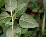 Amaranthus gracilis leaves