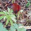 Amorphophallus abyssinicus