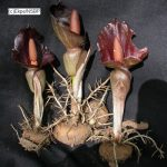 Amorphophallus abyssinicus tubers