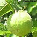 Antiaris toxicaria fruit