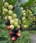 Antidesma venosum fruit