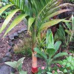 Areca macrocalyx