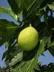 Artocarpus altilis fruit