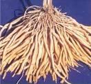 Asparagus racemosus roots