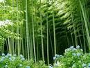 Bambusa arundinacea