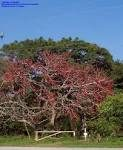 Bombax malabaricum