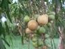 Boscia salicifolia fruit