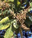 Buchanania latifolia fruit