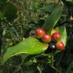 Carissa edulis fruit