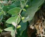 Cocculus pendulus leaves