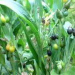Coix lachryma jobi seeds